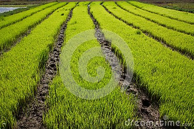 Nursery Rice in Northern Thailand