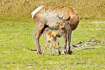 Nursing Baby Elk