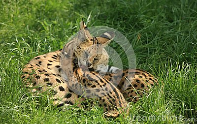 Nursing cheetah