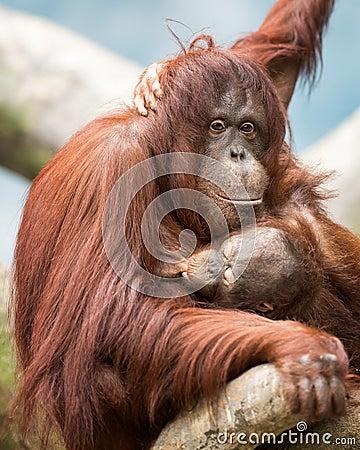 Nursing orangutan