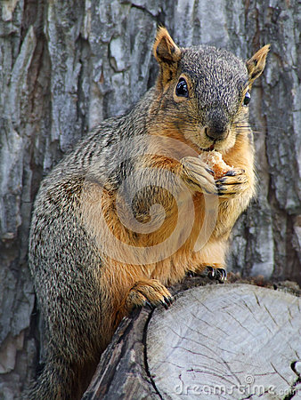 Free Nut Eating Squirrel Royalty Free Stock Images - 53843689