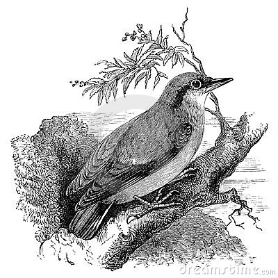 Nuthatch bird vintage illustration