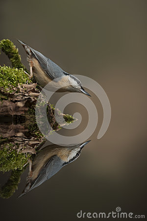 Nuthatch Reflection
