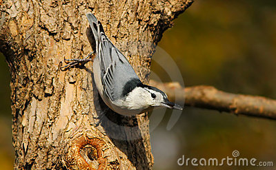 Nuthatch with seed in beak