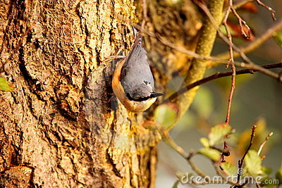 Nuthatch on tree trunk.