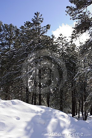 Nuvem de cegueira de Sun na floresta do inverno