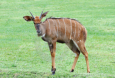 Nyala the african wildlife