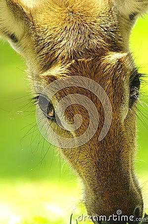 Nyala antelope closeup