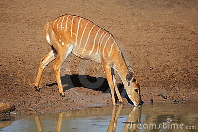 Nyala antelope drinking, South Africa