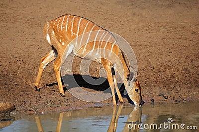 Nyala antelope drinking, South Africa