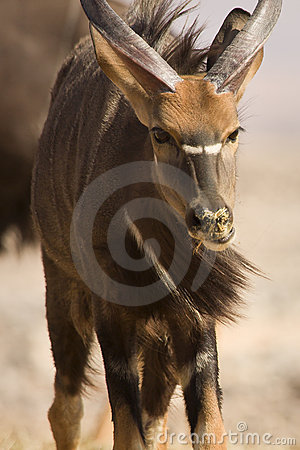 Free Nyala Antelope Portrait Stock Photos - 10431723