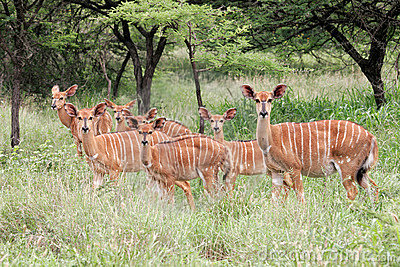Nyala antelopes, South Africa