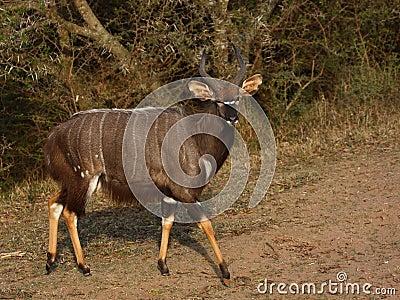 Nyala bull.