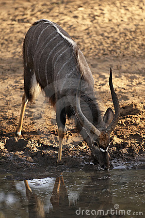 Nyala Male Antelope drinking at waterhole