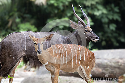 Nyala Male and Female Pair