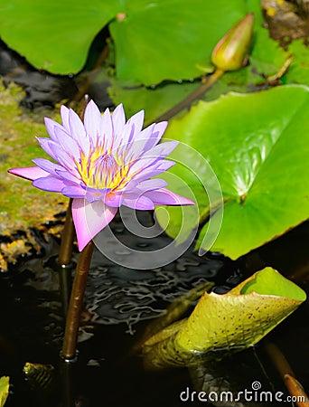 Free Nymphaea Lotus Stock Photography - 28653892