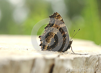 Nymphalis xanthomelas butterfly