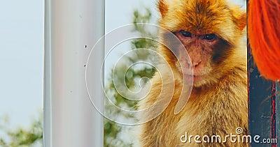 обезьяна Гибралтара акции видеоматериалы