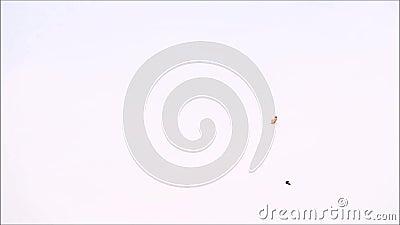 Отснятый видеоматериал птиц летая далеко с ясным днем неба на предпосылке видеоматериал