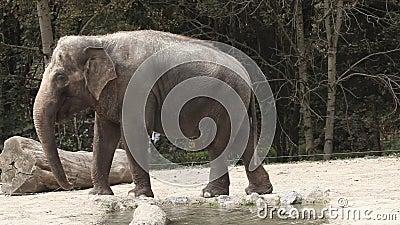 O ângulo largo disparou de um elefante animal no captivita que anda ao redor em um jardim zoológico filme
