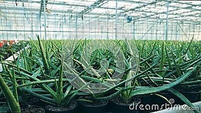 O aloés está crescendo em uns potenciômetros nas hortaliças video estoque