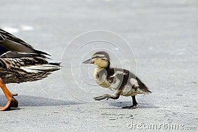 O bebê segue a mamã