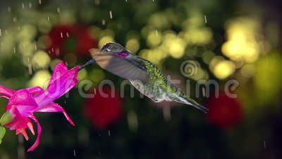 O beija-flor macho em câmera lenta visita flor rosa no dia chuvoso filme