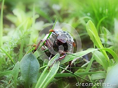 O besouro em uma grama verde