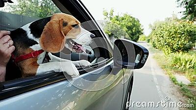 O cão curioso do lebreiro olha para fora a janela do carro em uma viagem filme