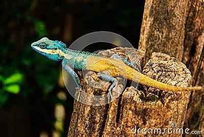 O camaleão azul