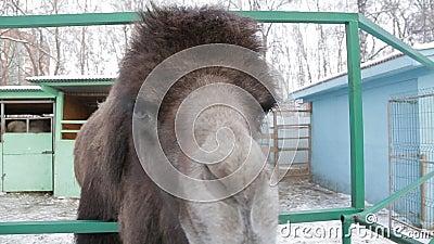 O camelo come com mãos humanas video estoque