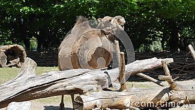 O camelo no jardim zoológico, animal herbívoro expressivo mostra as maxilas com dentes enormes vídeos de arquivo