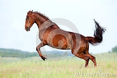 O cavalo da castanha galopa no campo