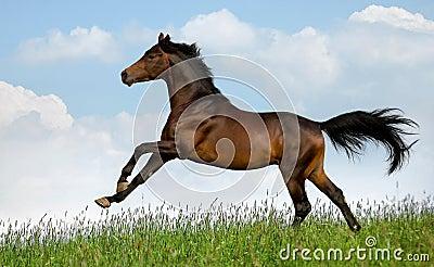 O cavalo de louro galopa no campo