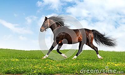 O cavalo árabe trota