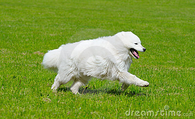 O cão do samoyed