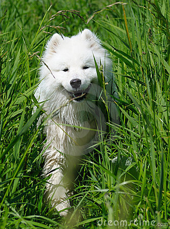O cão do samoyed