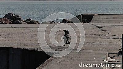 O corvo anda no cais do mar vídeos de arquivo