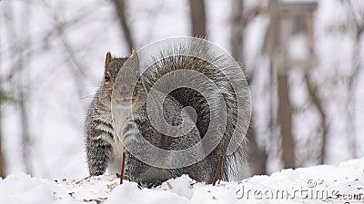 O Esquilo Cinzento Cinto pára e olha para a câmara - sciurus carolinensis - esquilo cinzento oriental ou esquilo cinzento, sement filme