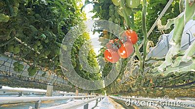 O foco video está movendo-se para trás e permanece fixo em um conjunto de tomates maduros vídeos de arquivo