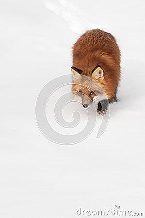 O Fox vermelho (vulpes do Vulpes) espreita a parte inferior do espaço da cópia