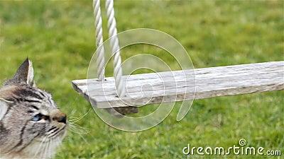 O gato bonito curioso com cheiros dos olhos azuis balança - o movimento lento vídeos de arquivo