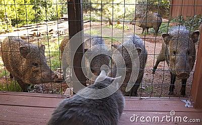 O gato presta atenção a animais selvagens (os javalinas)
