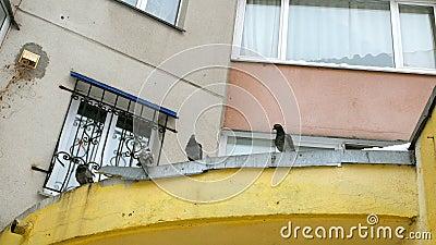 O grupo de pombos selvagens está sentando-se no telhado da saliência do metal vídeos de arquivo