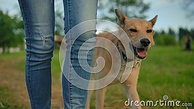 O inteligente cão treinado sem coleira que caminhava ao lado das pernas da mulher