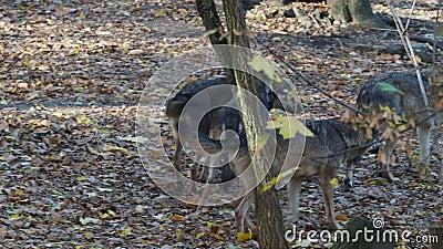 O lúpus europeu do lúpus de Canis dos lobos cinzentos está correndo na floresta vídeos de arquivo