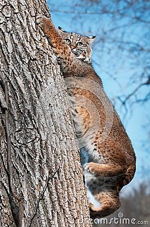 O lince (rufus do lince) escala para baixo a árvore