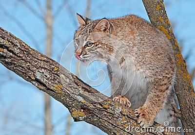 O lince (rufus do lince) na árvore lambe o nariz