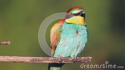 O pássaro colorido senta-se e gerencie-se em um ramo seco video estoque