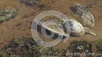 O pássaro inoperante encontra-se em uma lagoa poluída filme